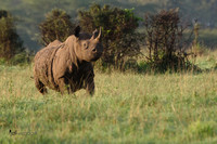 Black Rhinoceros on the move