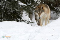 Wolf on a forest trail