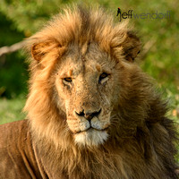 Lion Portrait (Male)