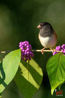 Dark-eyed Junco, Junco hyemalis oreganus perched on American Beautyberry