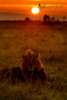 Lion Sunset