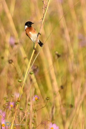 African Stonechat (Male) in South Africa