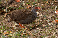 Red-necked Francolin in Kenya