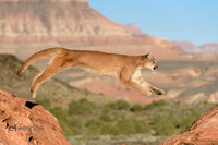 A Mt. Lion leaping across the canyon