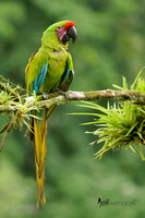 Great Green Macaw, Ara ambiguus. Also Buffon's or Great Military Macaw