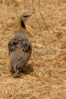 Yellow-throated Sandgrouse (Male)