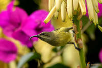 Variable Sunbird (Female) in Kenya
