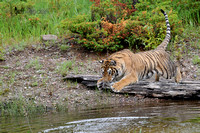 Tiger, Panthera tigris