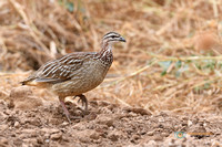 Crested Francolin in Kenya