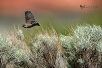 Black-chinned Sparrow flying over the sagebrush in Utah