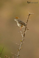 Rattling Cisticola singing in Kenya