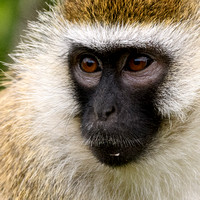 Vervet Monkey Profile - Kenya