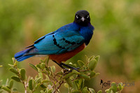 Superb Starling with attitude - Kenya