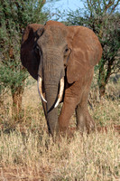 In Musth - African Elephant