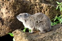 Rock Hyrax pale gray color