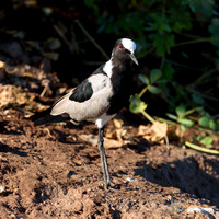 Blacksmith Lapwing on the shore of the Chobe River