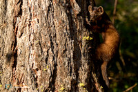 To climb or not to climb - American Marten