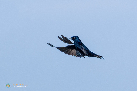 Purple Martin (Male) in Flight