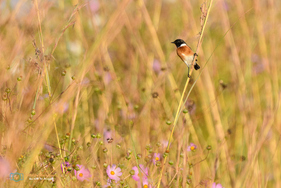 Male African Stonechat in Suikerbosrand Nature Reserve