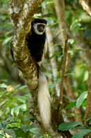 Colubus peering form the tree tops in Tanzania