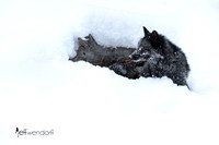 Silver Fox in a snow bank