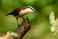 Rufous-naped Wren - Costa Rica