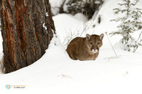 Cougar peering around a fir tree in winter.