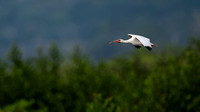 White Ibis in Flight - Costa Rica