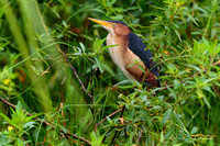 Least Bittern periscopes out of the thick stuff hunting for breakfast in Panama