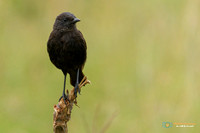 Sooty Chat (Female) in Kenya