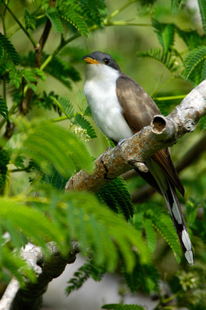 Yellow-billed Cuckoo in Florida