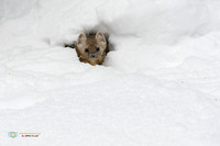 Snow Tunnel - American Marten