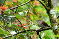 Rufous-and-white Wren in Panama