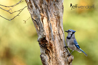 Blue Jay in Algonquin Park