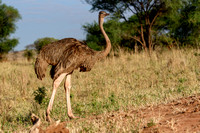 Masai Ostrich (Female) in Tanzania