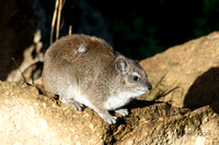 Rock Hyrax in the boulders