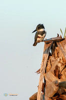 Belted Kingfisher in Florida